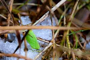 Speckled Wood Butterfly (Pararge aegeria) pupa among thawing snow. UK. - Mark Payne-Gill