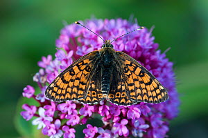 Glanville Fritillary (Melitaea cinxia) resting on Valarian flowers (Centranthus ruber). Ventnor, Isle of Wight, May. - Mark Payne-Gill
