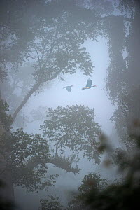 Rhinoceros hornbills (Buceros rhinoceros) pair flying over the canopy with mist hanging over lowland Dipterocarp rainforest in heart of Danum Valley, Sabah, Borneo (digitally modified image) - Nick Garbutt