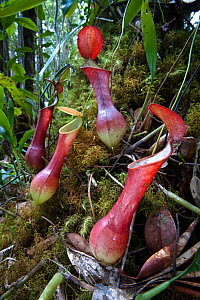 RF- Aerial pitchers of the red variant of pitcher plant (Nepenthes reinwardtiana) growing in mossy heath (kerangas) forest on the southern plateau of Maliau Basin, Sabah's 'Lost World', Borneo. (This... - Nick Garbutt