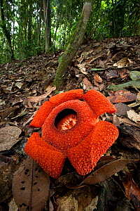 Flower of locally endemic Rafflesia (Rafflesia tengku-adlinii) flower diameter 22cm blooming on forest floor within lowland Dipterocarp rainforest, Maliau Basin, Sabah's 'Lost World', Borneo  -  Nick Garbutt