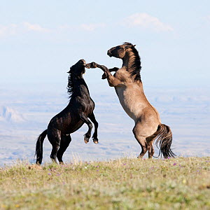 Wild horses / Mustangs, two stallions play fighting,  Pryor Mountains, Montana, USA, July 2010  -  Carol Walker