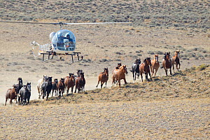 Wild horses / Mustangs, stallion, mares and foals during round up with helicopter, Antelope Hills Herd Area, Wyoming, USA, October 2011  -  Carol Walker