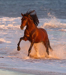 Andalusian stallion running out of the sea on beach, Ojai, California,  USA  -  Carol Walker