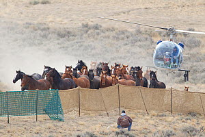 Wild horses / Mustangs, group herded into corral by helicopter, Great Divide Basin, Wyoming, USA, October 2011  -  Carol Walker