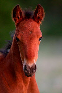Wild horse / Mustang, foal, portrait, Pryor mountains, Montana, USA  -  Carol Walker