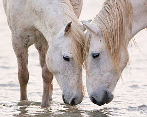 Two white horses of the Camargue, head to head at water, Camargue, Southern France  -  Carol Walker
