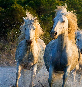 White horses of the Camargue, herd running through water, Camargue, Southern France  -  Carol Walker