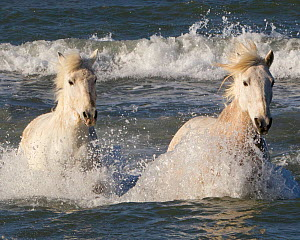 Two white horses of the Camargue, running through the sea, Camargue, Southern France - Carol Walker