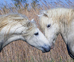 Two white horses of the Camargue, interacting, greeting head to head in marshes, Camargue, Southern France  -  Carol Walker