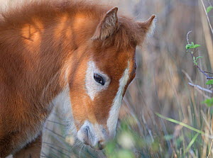 White horse of the Camargue, foal with its brown baby coat, Camargue, Southern France  -  Carol Walker