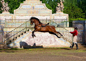 Lusitano horse, man training stallion in dressage steps, the high leap, Royal Riding School, Lisbon, Portugal, May 2011. No release available. - Carol Walker
