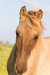 Sorraia horse, rare breed, portrait, Portugal  -  Carol Walker