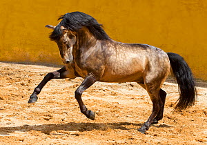 Lusitano horse, dun stallion prancing, Portugal, May 2011  -  Carol Walker