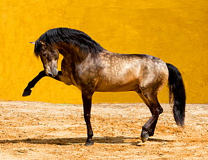 Lusitano horse, dun stallion pawing the ground, Portugal, May 2011  -  Carol Walker