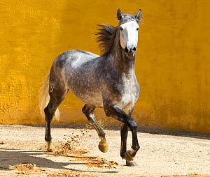 Lusitano horse, grey stallion trotting, Portugal  -  Carol Walker
