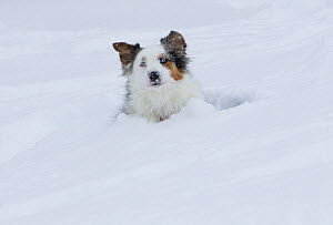 Australian shepherd dog lying down in snow, Colorado, USA - Carol Walker