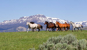 Herd of horses on ranch with mountains in background, Jackson Hole, Wyoming, USA, July 2011  -  Carol Walker