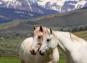 Horses on ranch, two greys with mountains in background, Jackson Hole, Wyoming, USA  -  Carol Walker