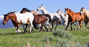 Herd of horses on ranch, Jackson Hole, Wyoming, USA  -  Carol Walker