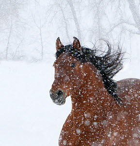 Andulasian bay stallion running in snow storm, Longmont, Colorado, USA  -  Carol Walker