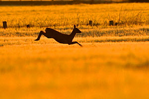 Roe Deer (Capreolus capreolus) doe leaping through barley field in dawn light. Perthshire, Scotland, June. - Fergus Gill / 2020VISION