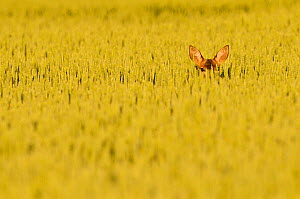Roe Deer (Capreolus capreolus) doe peering from wheat field. Perthshire, Scotland, June. - Fergus Gill / 2020VISION