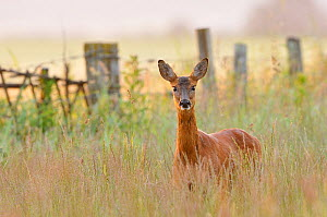 Roe Deer (Capreolus capreolus) doe in a field of set aside at dawn. Perthshire, Scotland, June. - Fergus Gill / 2020VISION