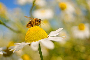 European Honey Bee (Apis mellifera) collecting pollen and nectar from Scentless Mayweed (Tripleurospermum inodorum). Perthshire, Scotland, July. Did you know? A healthy bee hive in summer will have up... - Fergus Gill / 2020VISION