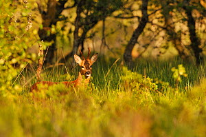 Roe Deer (Capreolus capreolus) buck in a woodland field. Perthshire, Scotland, June. - Fergus Gill / 2020VISION