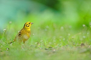 Yellowhammer (Emberiza citrinella) on grass. Perthshire, Scotland, June. - Fergus Gill / 2020VISION