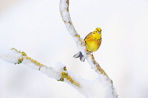 Yellowhammer (Emberiza citrinella) perched on snowy branch. Perthshire, Scotland, February. Did you know? Beethoven's pupil claimed that the famous 'fate motif' of his 5th Symphony was inspired by the... - Fergus Gill / 2020VISION