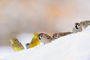 Tree Sparrow (Passer montanus) (right) and Yellowhammer (Emberiza citrinella) foraging on snow. Perthshire, Scotland, January. Did you know? The Tree sparrow population in UK dropped by 93% between 19... - Fergus Gill / 2020VISION