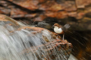 Dipper (Cinclus cinclus) on rock in stream. Perthshire, Scotland, May. - Fergus Gill / 2020VISION