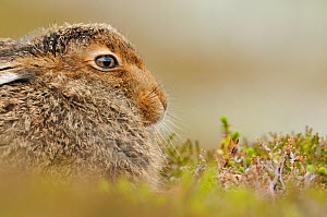 Mountain Hare (Lepus timidus) sub-adult leveret in mid summer, Cairngorms National Park, Scotland, July.  -  Fergus Gill / 2020VISION