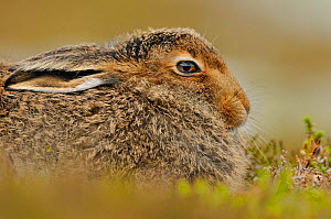 Mountain Hare (Lepus timidus) sub-adult leveret. Cairngorms National Park, Scotland, July. - Fergus Gill / 2020VISION