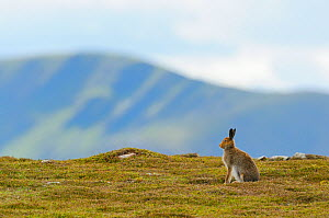 Mountain Hare (Lepus timidus) against mountains. Cairngorms National Park, Scotland, July. - Fergus Gill / 2020VISION