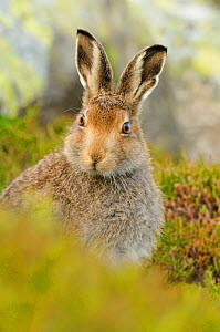 Mountain Hare (Lepus timidus) sub-adult leveret portrait. Cairngorms National Park, Scotland, July. - Fergus Gill / 2020VISION