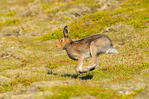Mountain Hare (Lepus timidus) running. Cairngorms National Park, Scotland, July. - Fergus Gill / 2020VISION