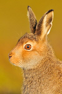 Mountain Hare (Lepus timidus) in alert pose. Cairngorms National Park, Scotland, July.  -  Fergus Gill / 2020VISION