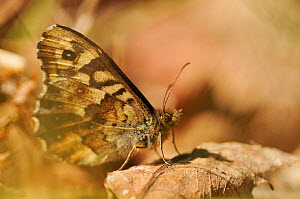 Speckled wood butterfly (Pararge aegeria) resting on dead oak leaves at sunset, Atlantic Oakwoods, Sunart, Scotland, May. Did you know? Butterflies can remember things they have learnt as a caterpilla... - Fergus Gill / 2020VISION