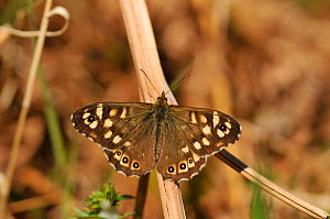 Speckled wood butterfly (Pararge aegeria) resting on dead bracken, Atlantic Oakwoods, Sunart, Scotland, May. - Fergus Gill / 2020VISION