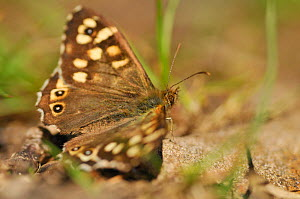 Speckled wood butterfly (Pararge aegeria) resting on a rock, Atlantic Oakwoods, Sunart, Scotland, May. - Fergus Gill / 2020VISION