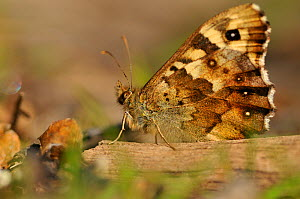Speckled wood butterfly (Pararge aegeria) resting on dead branch, Atlantic Oakwoods, Sunart, Scotland, May.  -  Fergus Gill / 2020VISION