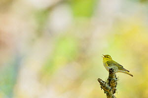 Wood warbler (Phylloscopus sibilatrix) singing from a lichen covered branch, Atlantic Oakwoods of Sunart, Scotland, May.  -  Fergus Gill / 2020VISION