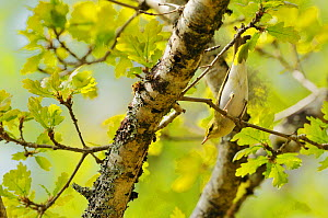 Wood warbler (Phylloscopus sibilatrix) perched in branch, searching for food in an oak tree, Atlantic Oakwoods of Sunart, Scotland, May. Did you know? The scientific name for this species �sibilatrix�... - Fergus Gill / 2020VISION