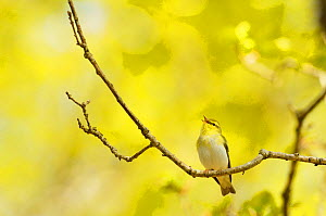 Wood Warbler (Phylloscopus sibilatrix) singing from an oak tree, Atlantic Oakwoods of Sunart, Scotland, May.  -  Fergus Gill / 2020VISION