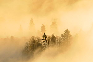 A misty morning over a mixed woodland in autumn.  Kinnoull Hill Woodland Park, Perthshire, Scotland, November 2011.  -  Fergus Gill / 2020VISION