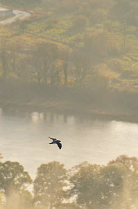 Peregrine Falcon (Falco peregrinus) in flight over the River Tay. Kinnoull Hill Woodland Park, Perthshire, Scotland, November.  -  Fergus Gill / 2020VISION