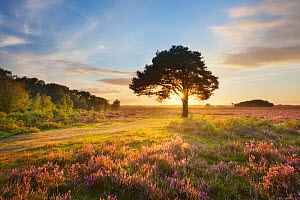 Ling (Calluna vulgaris) and Bell Heather (Erica cinerea) blooming on heathland with sun rising through tree. Pig Bush, Beaulieu, New Forest National Park, Hampshire, England, UK, August. Did you know?... - Guy Edwardes / 2020VISION